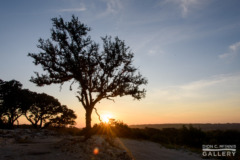 A live oak on a hilltop at sunrise