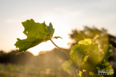 An Albariño grape vine against the rising sun