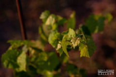 A new leaf on an Albariño vine