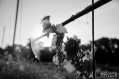 A Mourvedre vine watered against the sun