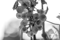 Grapes on a young vine